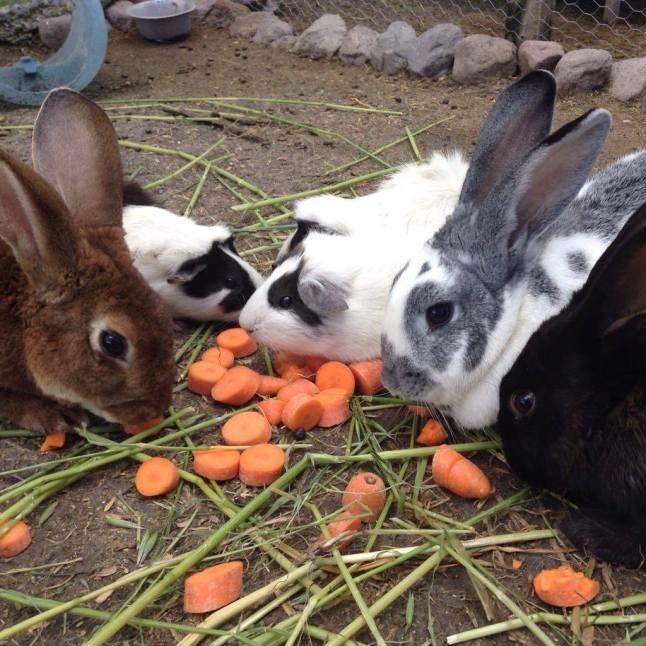 Conejos y cuyas